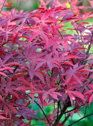 日本枫红镜